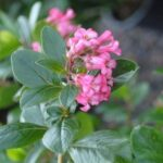 Escallonia Pink Pyramid