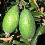 Feijoa Apollo 500