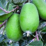 Feijoa Unique 500