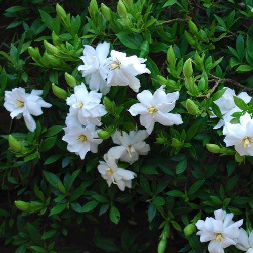 Gardenia J. Fragrant Star