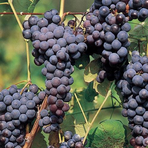 Grape Buffalo - pb6.5 (60/100)