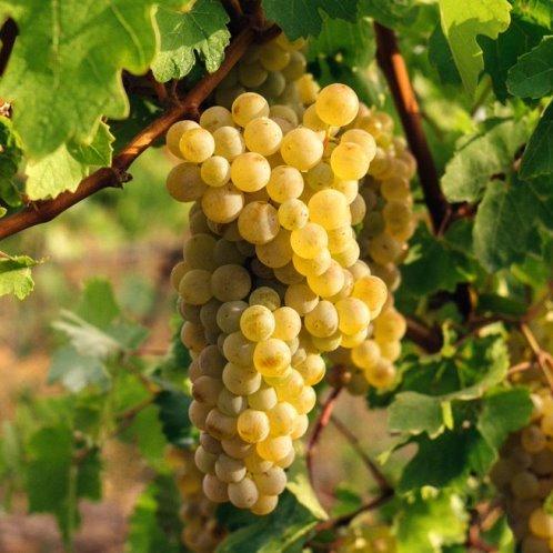 Grape Queen Of The Vineyard 500