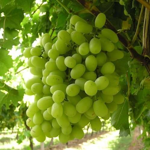 Grape Thompsons Seedless 500