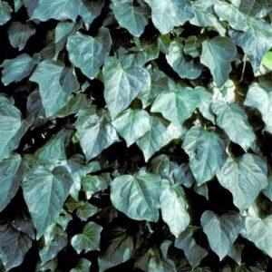 Hedera canariensis - pb6.5 (40/50)