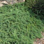 Juniperus Pr Nana 500