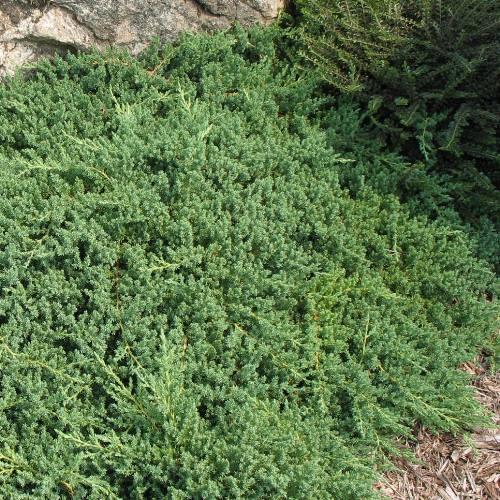 Juniperus procumbens Nana - pb6.5 (12/15)