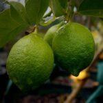 Lime Tahitian 500