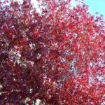 Liquidambar s. 'Richared' - 45ltr (220/250)