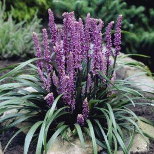 Liriope m. Royal Purple - 1.3ltr (15cm)