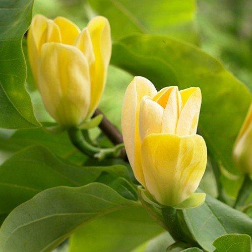 Magnolia Yellow Bird Pb18 150170 Greenleaf Nurseries