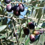 Olive Barnea 500
