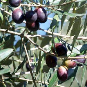 Olive Barnea - 2.5ltr (90/120)