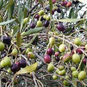 Olive (olea) Frantoio - pb40 (200/230)