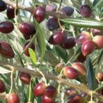 Olive Koroneiki - 2.5ltr (90/120)