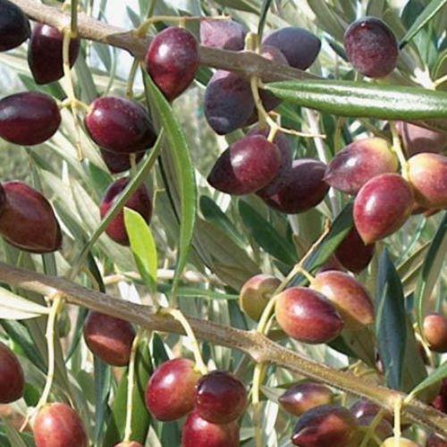 Olive Koroneiki 500