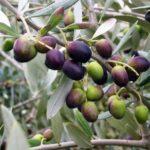 Olive Picholine 500