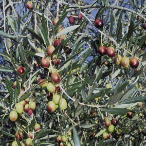 Olive Verdale - 2.5ltr (100/160)