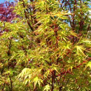 Acer Palmatum 'Crippsii'