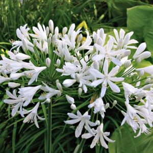 Agapanthus White - PB5 (20/30)