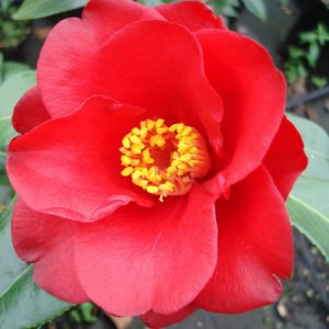 Camellia Wild Fire - PB6.5 (65/75)