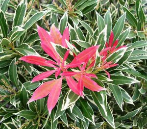 Pieris Flaming Silver  PB6.5