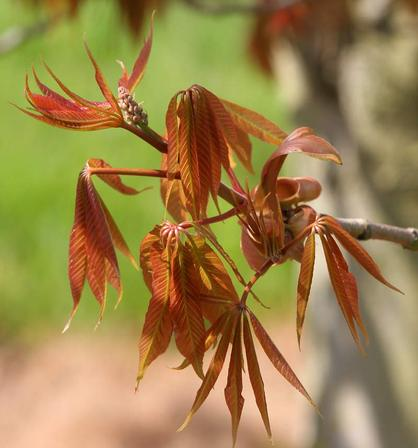 Aesculus indica (Indian Horse Chestnut) – PB18 (180/200)