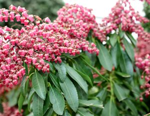 Pieris Valley Valentine 2Ltr (30/40)