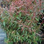 Leptospermum macrocarpum Copper Sheen – TUBE (20/30)