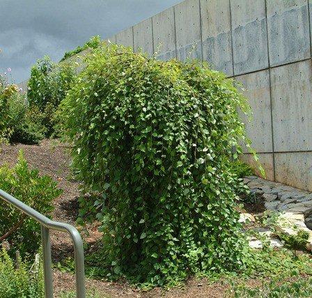 Betula nigra 'Summer Cascade' Pb95 (220/240)