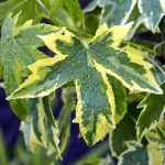 Liquidambar s. 'Golden Treasure' – PB40 (200/240)