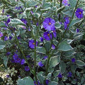 Lycianthes rantonnei (Solanum Rantonnettii) - 12L Pot