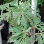 Acer japonicum 'Aconitifolium' - PB60 (160/180)