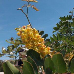 Caesalpinia Spinosa