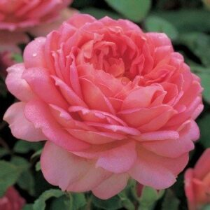 Austin English 'Jubilee Celebration' Bush Rose