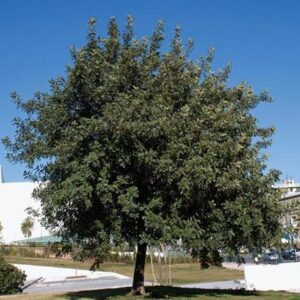 Ceratonia siliqua - PB6.5(20/30)
