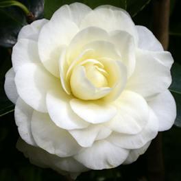 Camellia Lemon Drop  - PB6.5 (60/70)