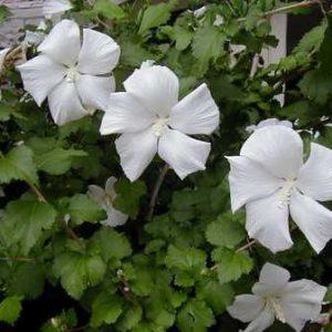 Hibiscus syriacus Diana - PB6.5 (30/40)
