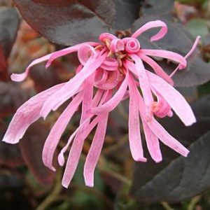 Loropetalum chinense Firedance - PB5 (20/30)
