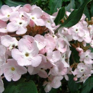 Luculia pinceana Fragrant Cloud - PB6.5 (50/60)