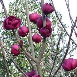 Magnolia Black Tulip - PB18/28 (180/200)