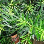 Podocarpus Macrophyllus PB8 (90/120)