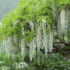 Wisteria floribunda Snow Showers - 5L Pot