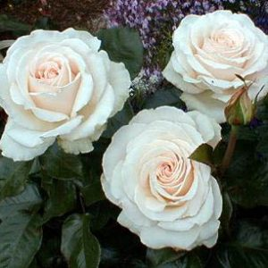 Bush Rose - Hybrid Tea 'Auckland Metro'