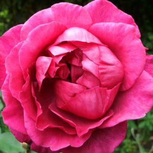 Bush Rose - Hybrid Tea 'Blackberry Nip'