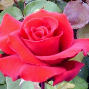 Bush Rose - Hybrid Tea 'Erotica'