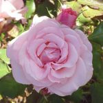 Bush Rose – Floribunda 'Bridal Pink'