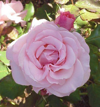 Bush Rose - Floribunda 'Bridal Pink'