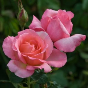 Bush Rose - Hybrid Tea 'Lovely Lady'