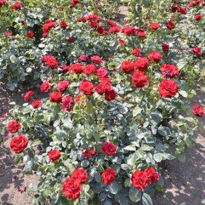 Bush Rose - Floribunda 'Hans Christian Andersen'