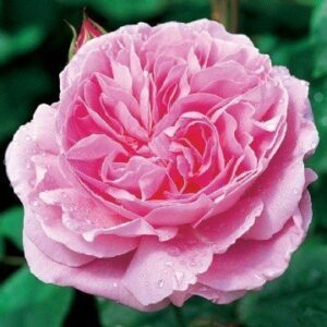 Austin English 'Mary Rose' Bush Rose